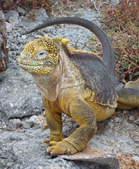Iguana in Galapagos Islands