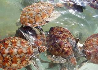 cayman-island-turtle-farm