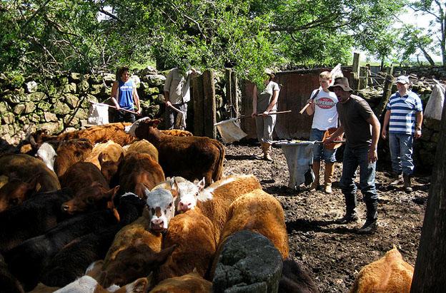 cattle-argentina