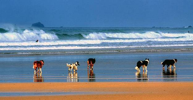 cornwall-dogs