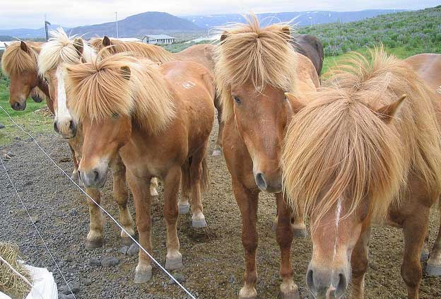 Holiday Destinations for Horse Lovers - Reykjavik, Iceland