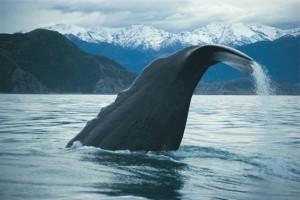 New Zealand Wale watching