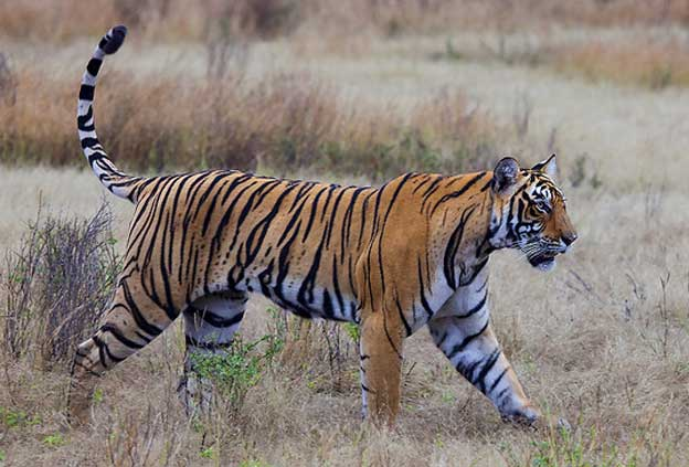 Tiger Spotting Safaris in India