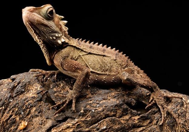 Daintree Reptile Australia