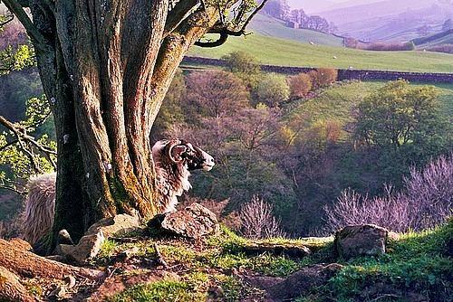 Swaledale ram in Keld, the Yorkshire Dales