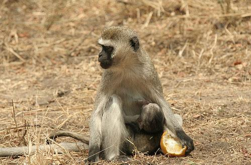 Safari Destinations - monkey