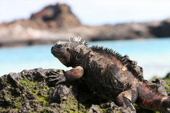 Marine Iguana in Galapagos Islands