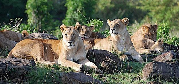Maasai Mara In Kenya - Lions safari