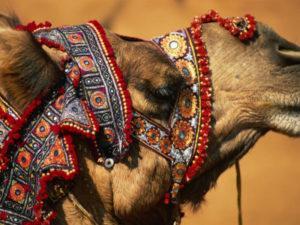 Round the world trip - Pushkar camel fair