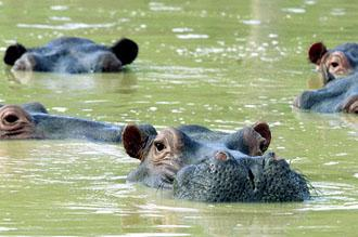 Bizarre Theme Parks - Hippos-on-the-estate