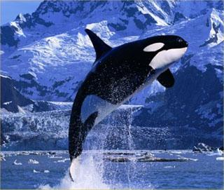 Watch Out Killer Whales