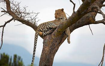 Best Africa Safari Deal - Leopard on a tree