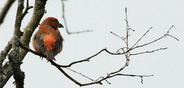 scottish-crossbill-scotland