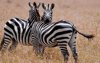 Best Africa Safari Deal - Zebra