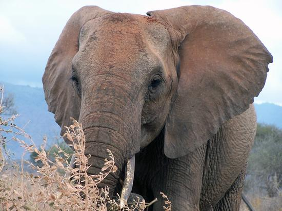 See in South Africa - African Elephant