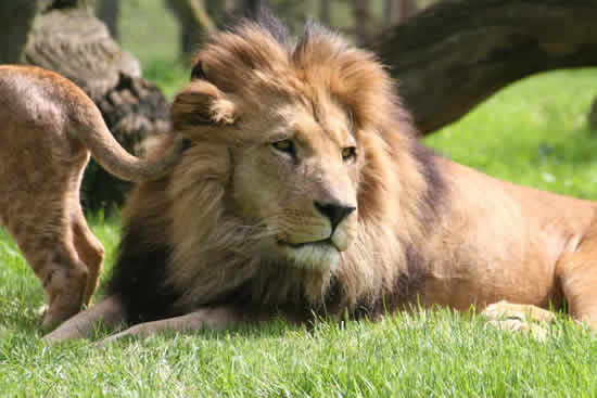 See in South Africa - Male lion