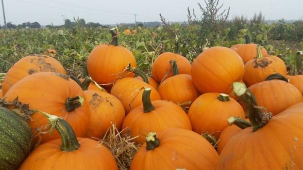 a-lot-of-pumpkins
