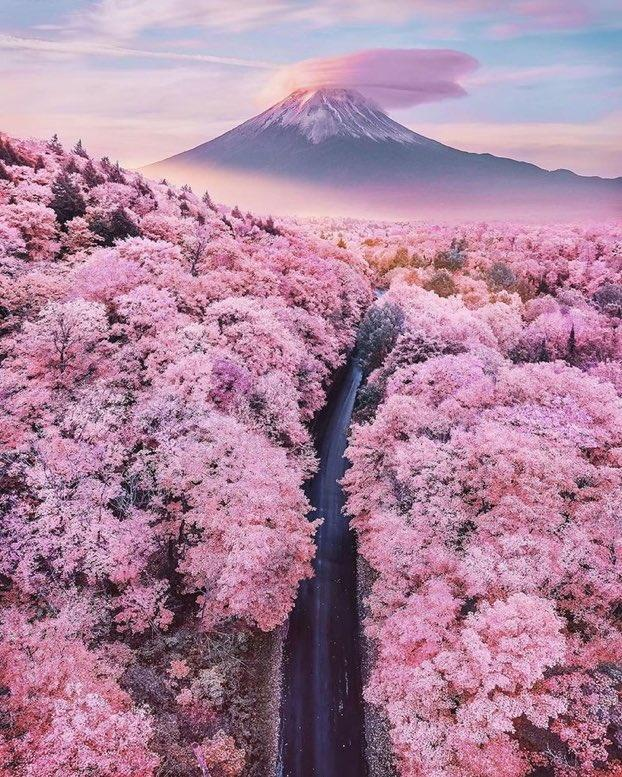Cherry Blossom Fuji Mountain