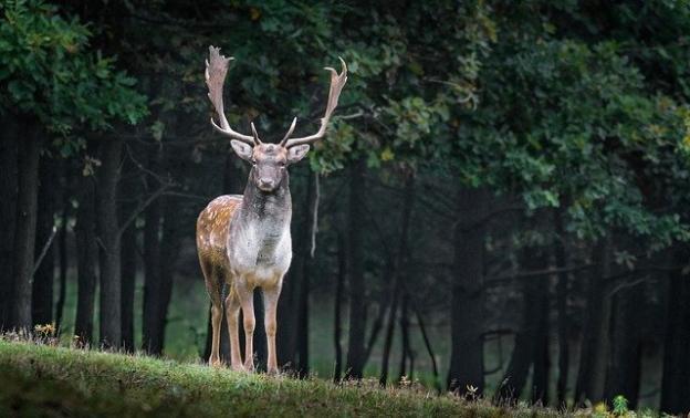 Deer at Phoenix Park in Dublin